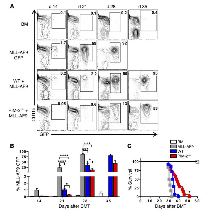 PIM-2–/– T cells mediate GVL effect in MLL-AF9 model. Lethally irradiate...