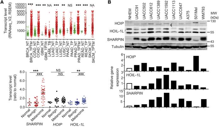 JCI - SHARPIN-mediated regulation of protein arginine