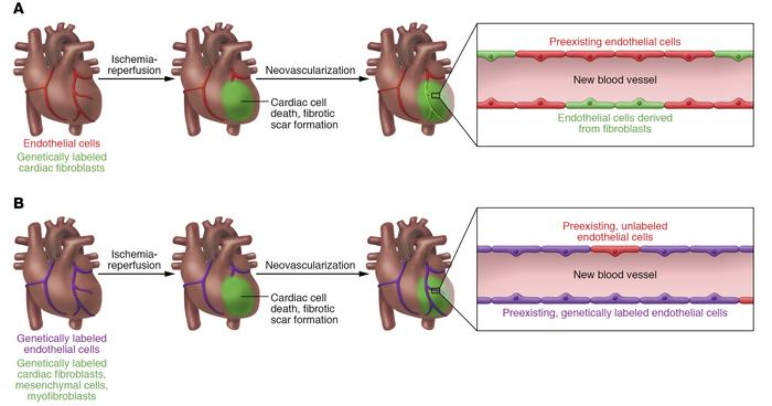 Divergent models of the source of new cardiac endothelial cells followin...