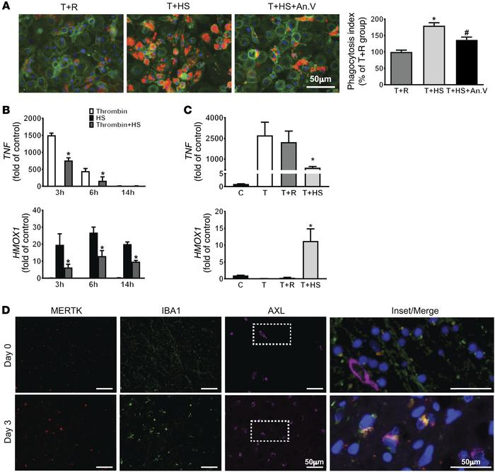 Efferocytosis modulates human MDM phenotype and is associated with ICH r...