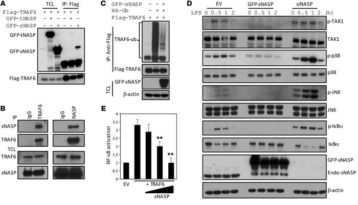 sNASP inhibits TLR4-induced NF-κB activation through TRAF6. (A) Immunopr...