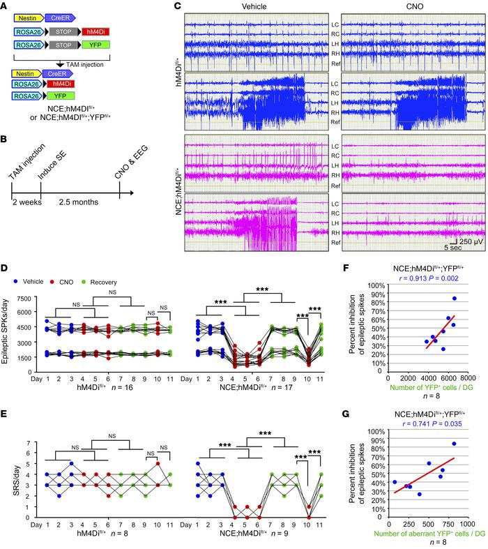 The essential role of hippocampal DGCs in the production of seizures dur...