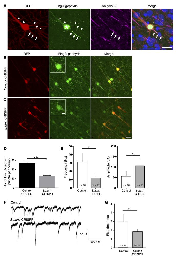 Loss of αII spectrin alters inhibitory innervation. (A) Confocal image o...