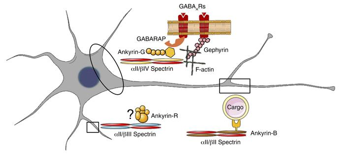 αII Spectrin is a universal neuronal structural protein. In neurons, αII...