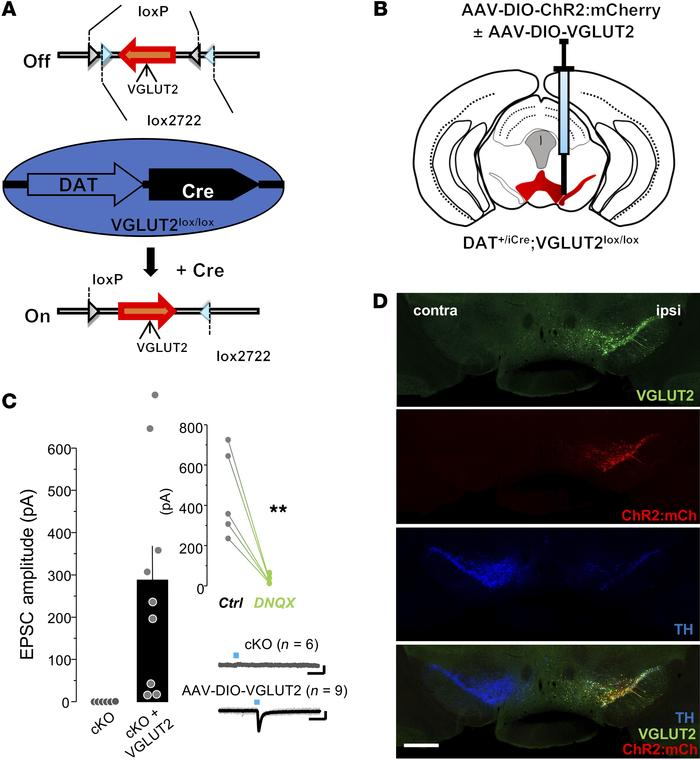 Heterologous expression of VGLUT2 in adult DA neurons enables glutamate ...