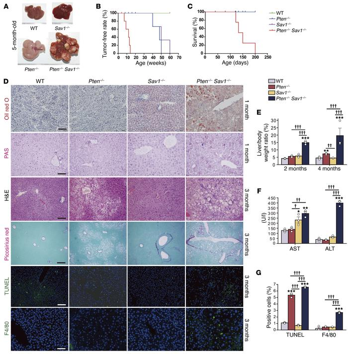 Liver-specific deletion of Pten and Sav1 accelerates the development of ...