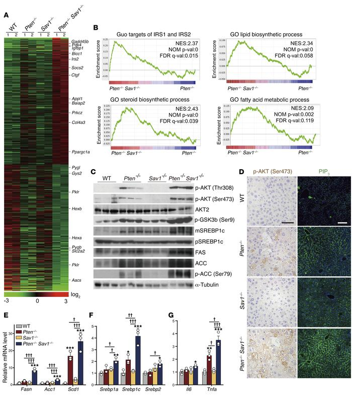 Deletion of SAV1 potentiates AKT signaling in PTEN-deficient livers. (A)...