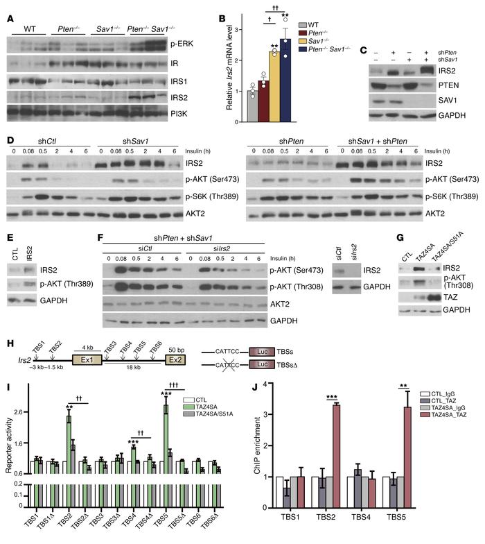 YAP/TAZ directly activate Irs2 transcription through TEAD binding. (A) I...