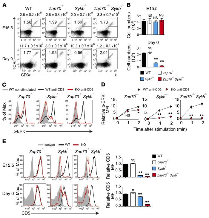Syk plays a dominant role in γδTCR signaling and γδT cell development. (...