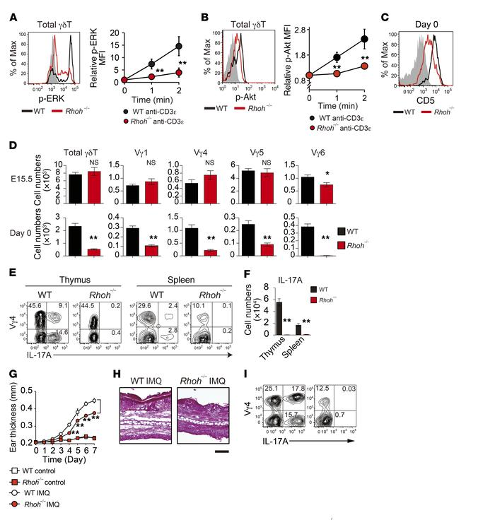 RhoH mediates the γδTCR signaling required for γδT17 development. (A and...