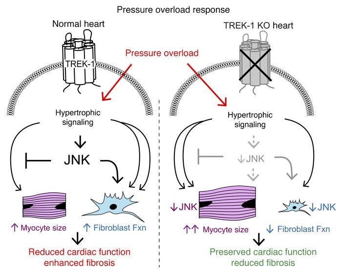 Effect of TREK-1 on cardiac remodeling and function. Working model of TR...