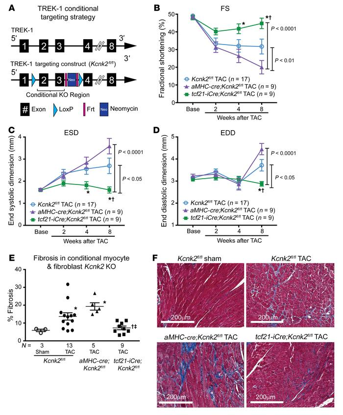 Fibroblast-specific TREK-1 loss of function protects against pressure ov...