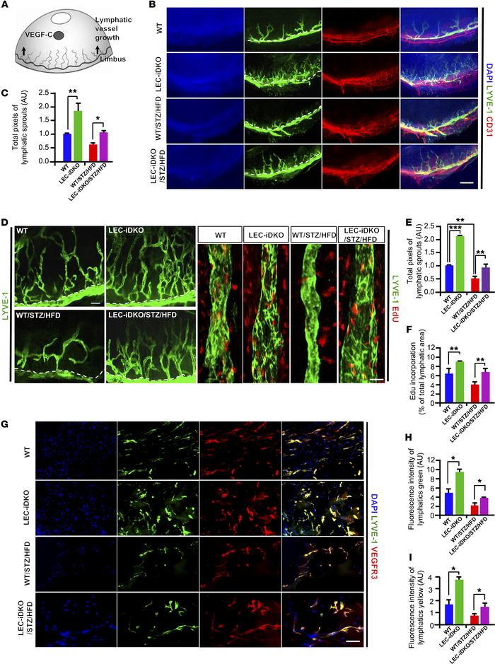 Lymphatic endothelial cell–specific deficiency of epsins promotes lympha...