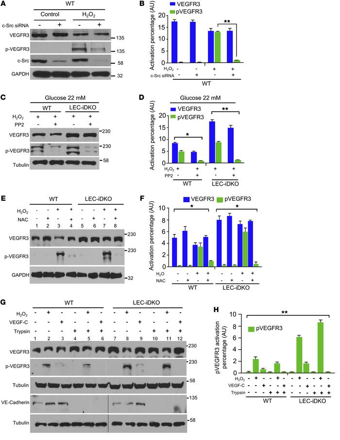 ROS-induced intracellular phosphorylation of VEGFR3 is c-Src dependent a...