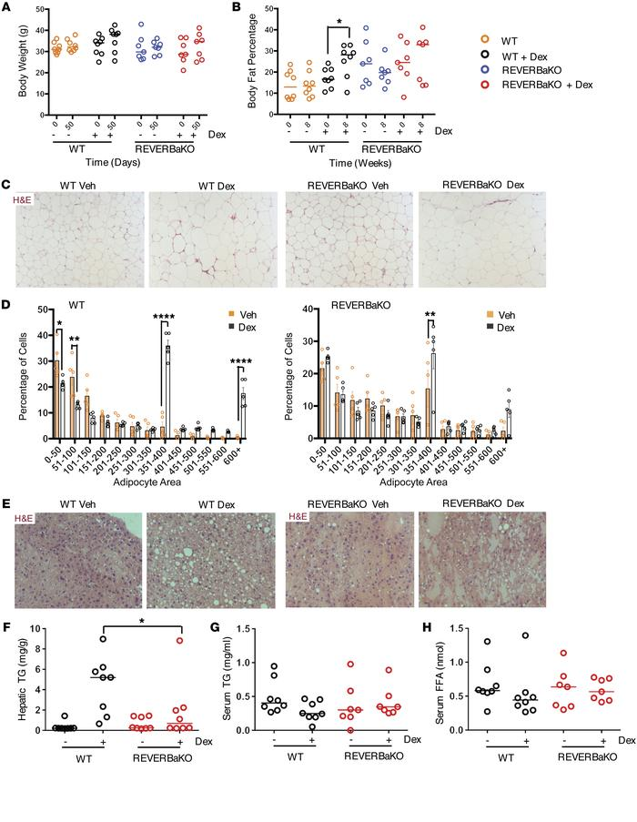 REVERBa regulates lipid metabolism. C57BL/6 (WT) and REVERBaKO mice were...