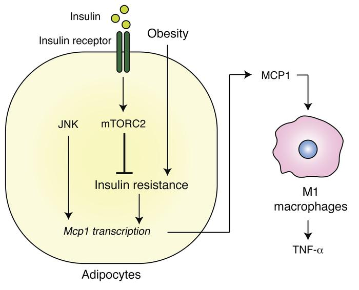Insulin resistance causes inflammation in adipose tissue. Insulin resist...