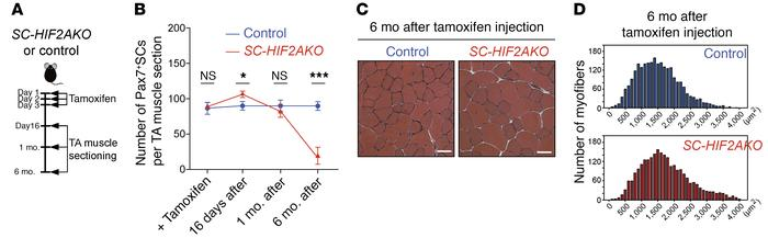 Long-term ablation of HIF2A results in the loss of SC homeostatic self-r...
