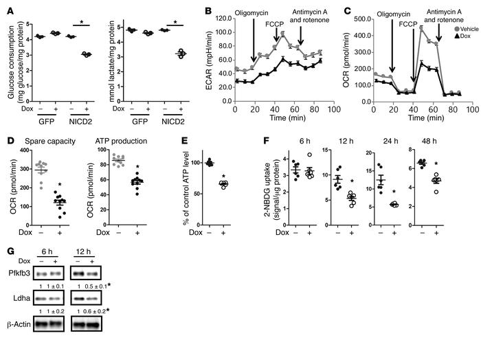 Notch2 signaling suppresses glycolysis in ST2 cells. (A) Glucose consump...