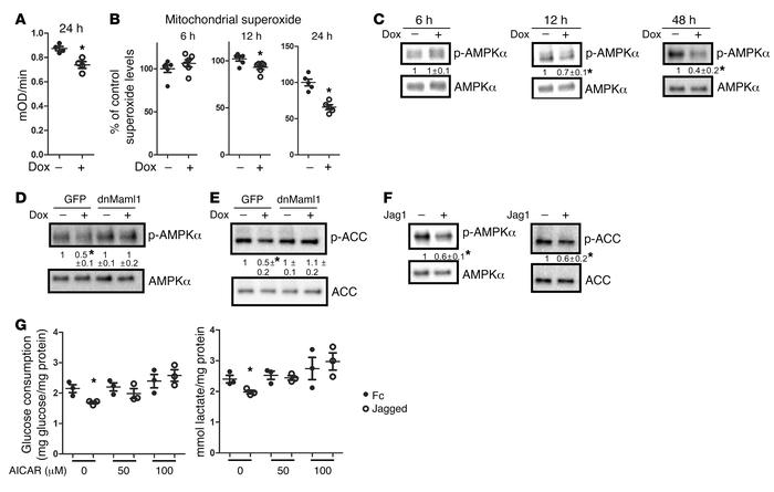 Notch suppresses glycolysis through downregulation of AMPK activity. (A–...