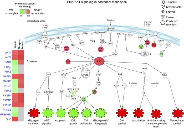 Neo1-dependent monocyte intracellular signaling in the PI3K/AKT pathway....