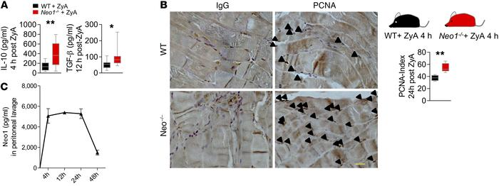 Functional inhibition of Neo1 promotes the resolution and regeneration p...