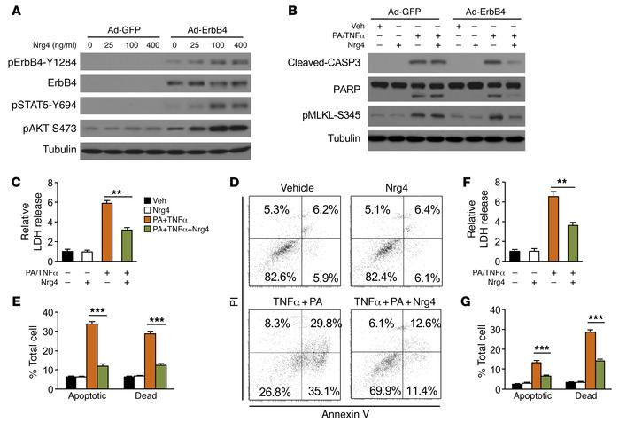 Nrg4 signaling protects hepatocytes from stress-induced cell death. (A) ...