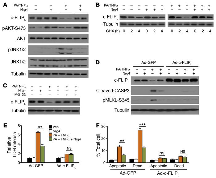 Stabilization of c-FLIPL by Nrg4 attenuates stress-induced cell death in...