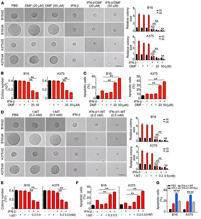 JCI - STAT3/p53 pathway activation disrupts IFN-β–induced dormancy