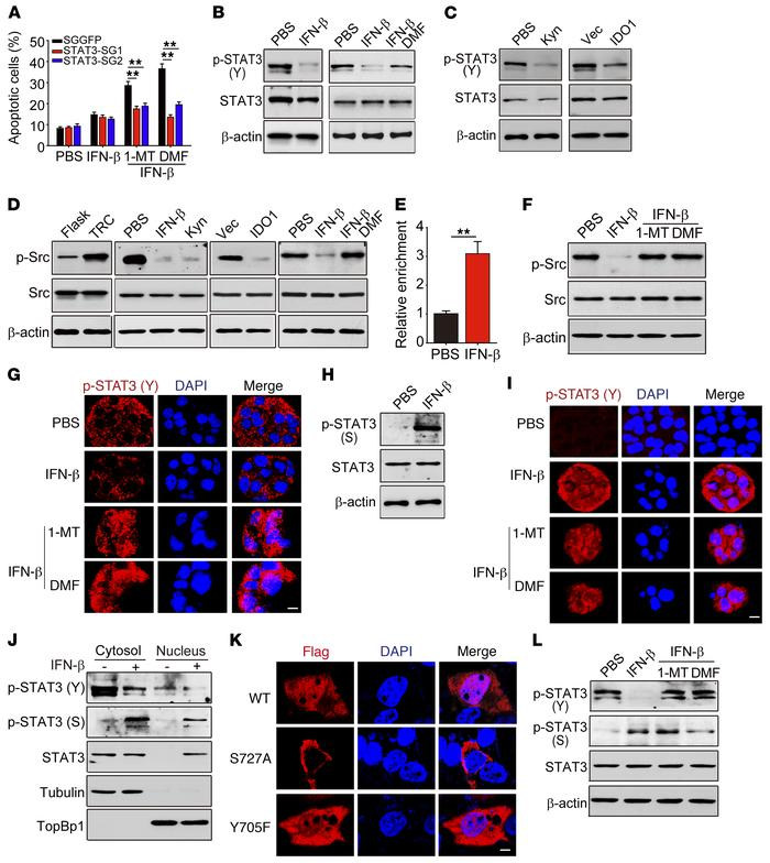 Nuclear translocation of p-STAT3 (S) mediates TRC apoptosis by IFN-β/AhR...