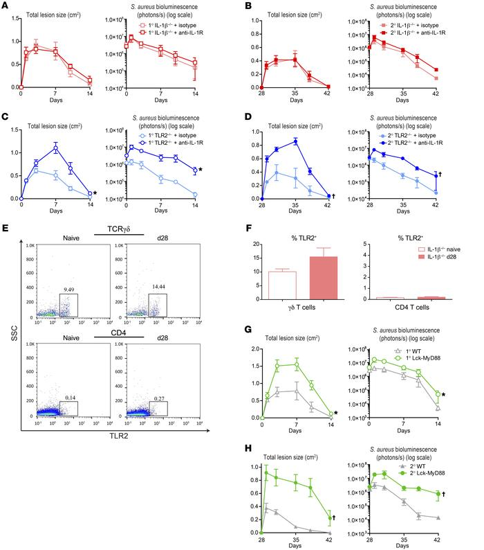 γδ T cells are induced by T cell–intrinsic TLR2/MyD88 signaling. IL-1β–/...
