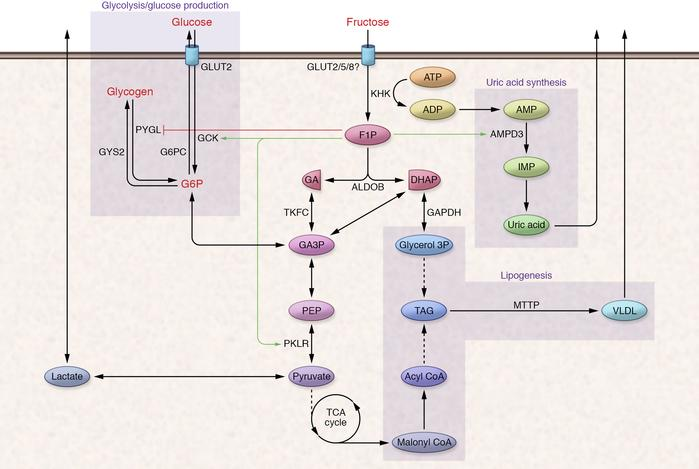 Fructose biochemistry. Upon entering hepatocytes, fructose is phosphoryl...