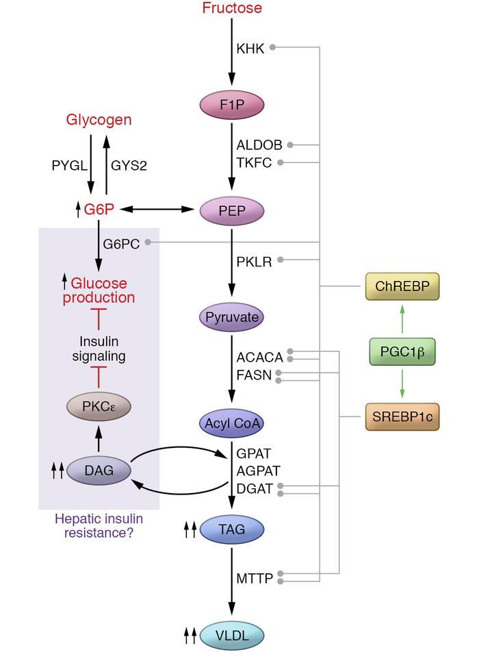 Fructose-induced gene expression programs. Fructose metabolism activates...