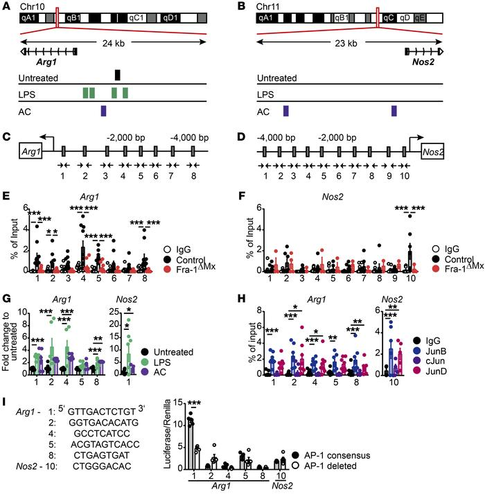 Fra-1 transcriptionally regulates Arg1 at the promoter level. Thioglycol...