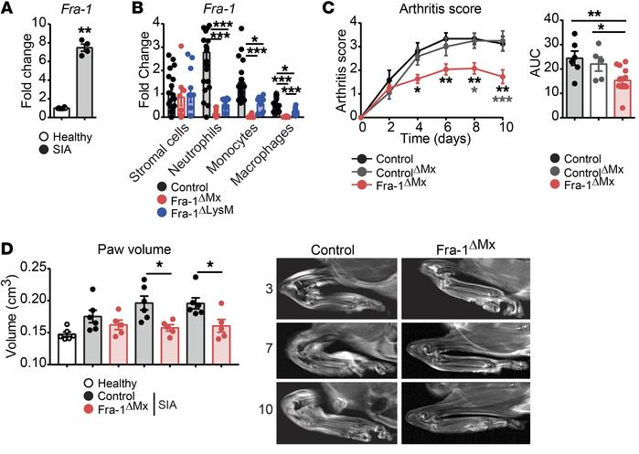 Ameliorated joint inflammation in Fra-1ΔMx arthritic mice. K/BxN arthrit...