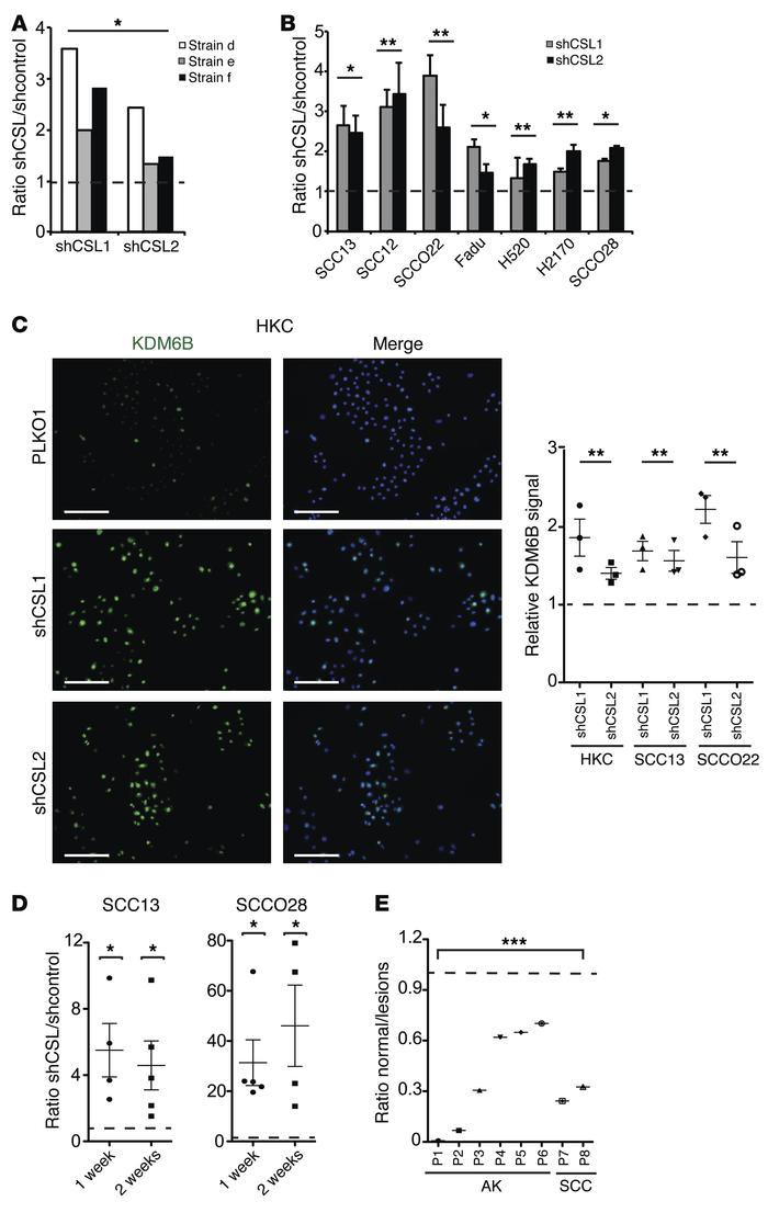 KDM6B expression increases in HKCs and SCC cells with CSL gene silencing...