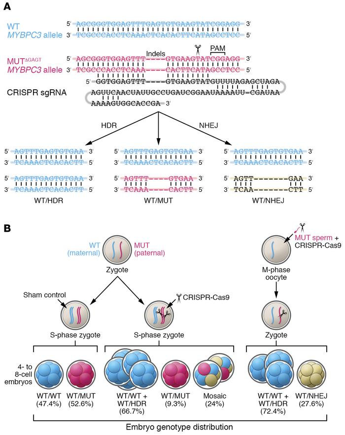 Genome editing of the MYBPC3ΔGAGT mutation by CRISPR-Cas9 and sgRNA inje...