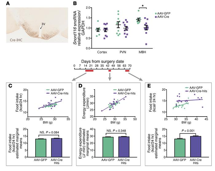 Adult-onset deletion of Snord116 in the mediobasal hypothalamus results ...