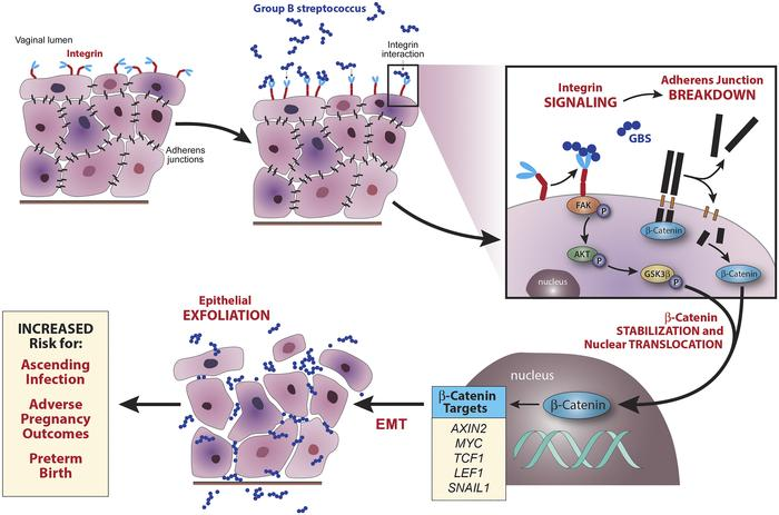 Model of GBS-induced epithelial exfoliation and ascending infection. Upo...