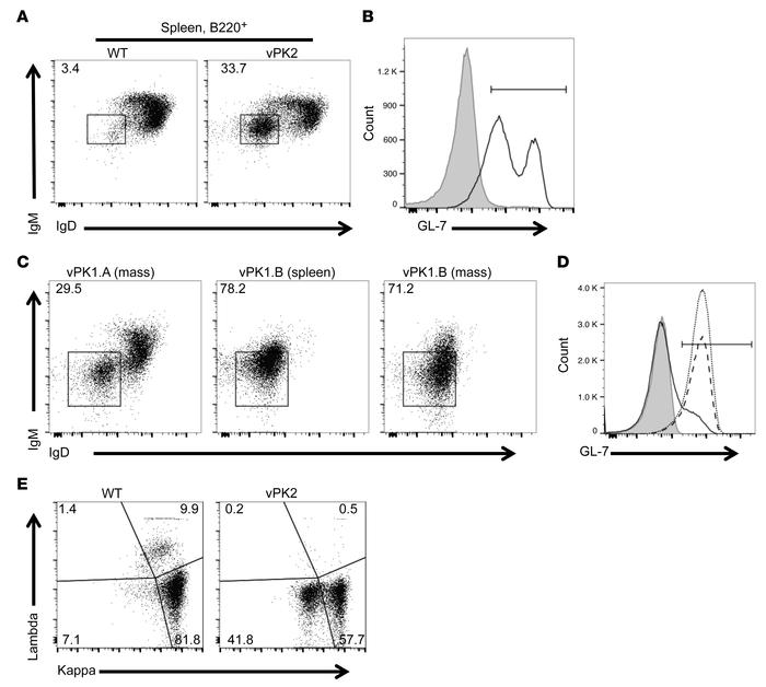 Increased class-switched B cells from aged vPK transgenic versus age-mat...