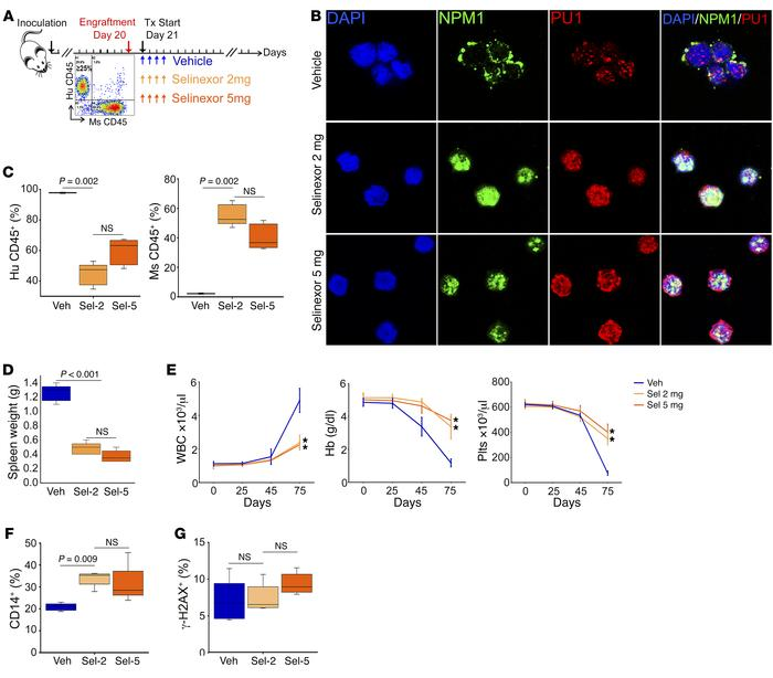 The differentiation-restoring effect of selinexor in vivo was saturated ...