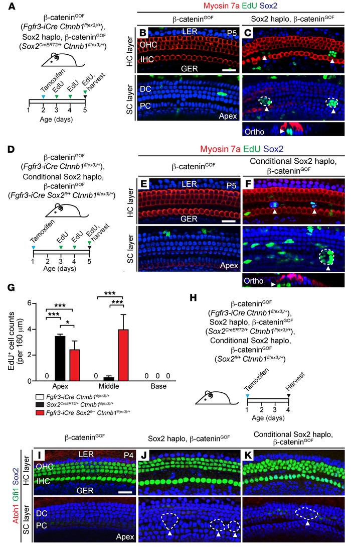 Sox2 haploinsufficiency acts as a permissive signal for β-catenin–induce...