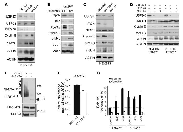 USP9X negatively regulates SCF(FBW7) substrates. (A) Accumulation of SCF...