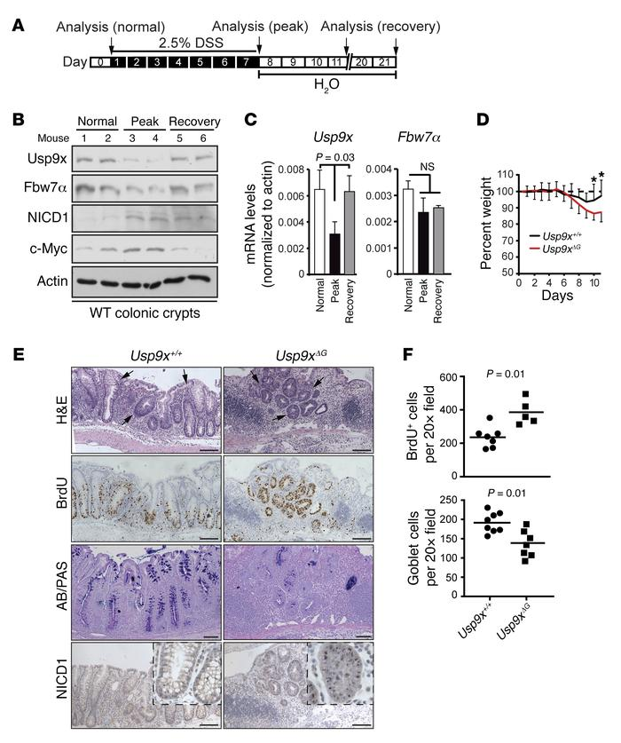 Usp9x is required for tissue regeneration during acute colitis. (A) Sche...