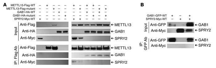 METTL13 interacts with GAB1 and SPROUTY2. (A) Lysates from HEK293 cells ...