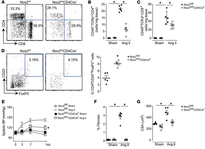 Nox2fl/flCD4Cre+ mice are resistant to development of hypertension and h...