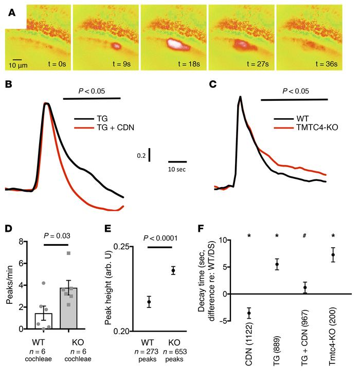 Ca2+ dynamics in cochlear supporting cells. Ratiometric FURA-2 imaging w...