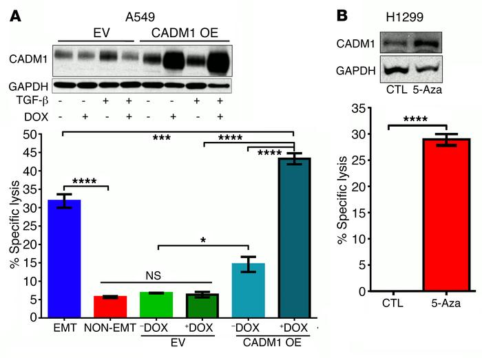 Restoring CADM1 expression in tumor cells is sufficient to confer suscep...