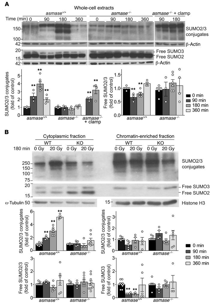 I/R disrupts SUMO2/3 function in tumors exposed to SDRT. Western blot (W...