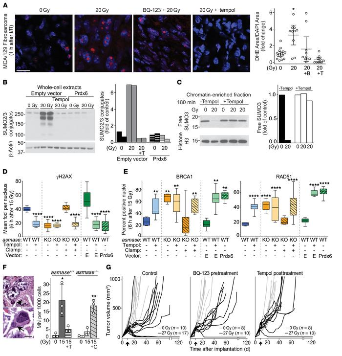 ROS mediate SUMO dysfunction and synthetic tumor lethality via the repro...