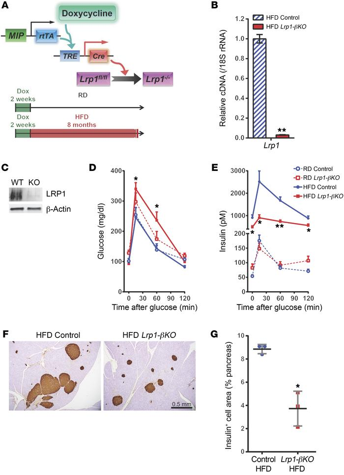 LRP1 ablation prevents β cell compensation during DIO. (A) Doxycycline-i...